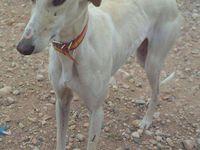 Jalea galga blanche a été adoptée