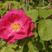 Rosa Gallica Officinalis ( la fameuse rose de Provins ) - lesrosesduchemin.com