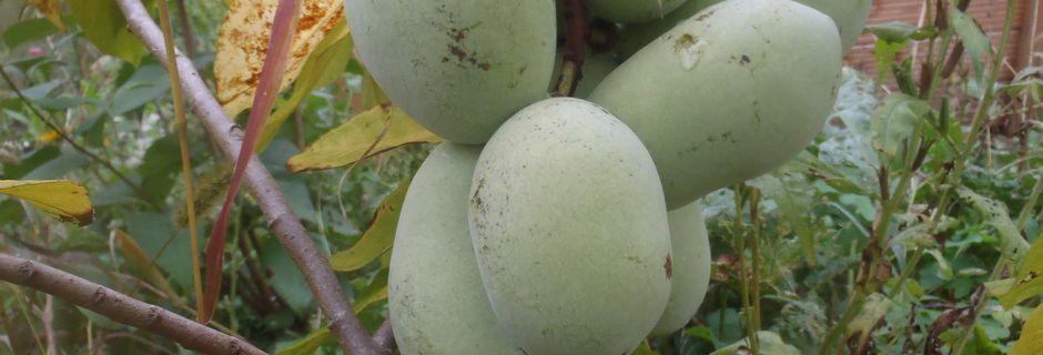 Paw-Paw-Früchte