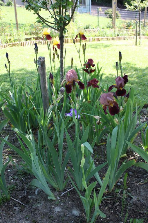 quelques Iris du Chemin