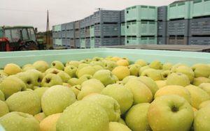 La cueillette des pommes est lancée