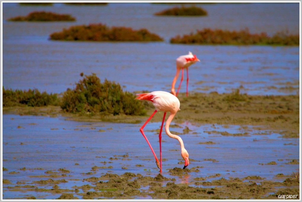Album - Flamants roses en Camargue