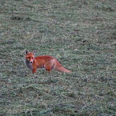 Un renard dans un champ fauché