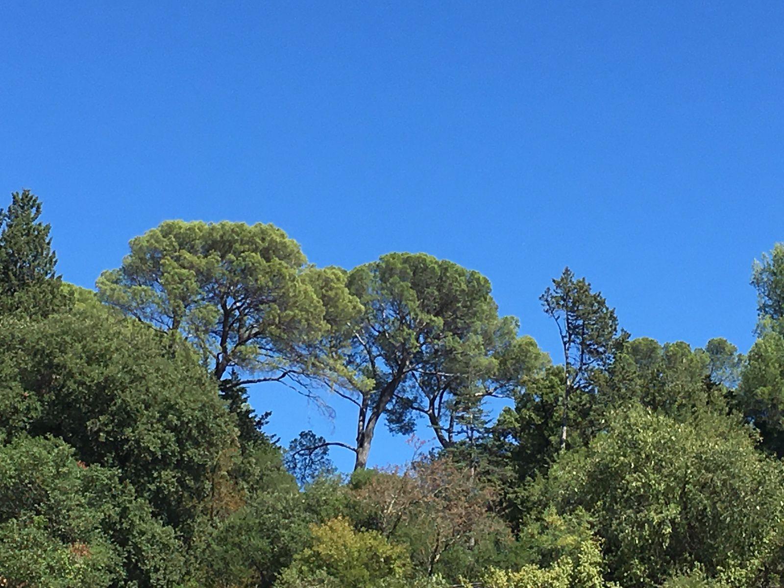 Les pins du midi...