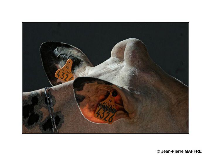 Sous le soleil de Paris, les taureaux du Salon de l'agriculture mettent-ils les vaches en émoi ?