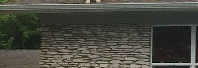 Le chien sur le toit