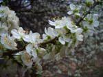 Jardinage Fleurs de prunier