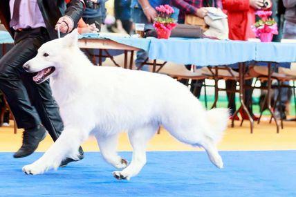 Berger blanc suisse disponible pour saillie ,multi champion I'lander du loup de la vieille eglise