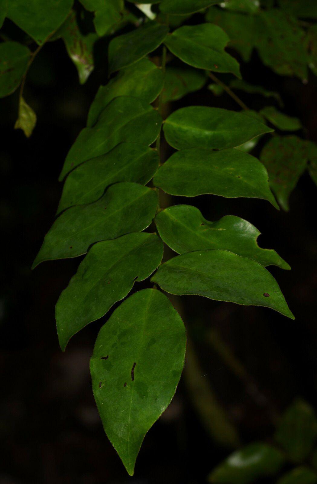 Picramnia guianensis (tariri)