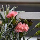 l'oeillet résiste au gel; photos d'hiver - crea.vlgomez.photographe et bricoleuse touche à tout.over-blog.com
