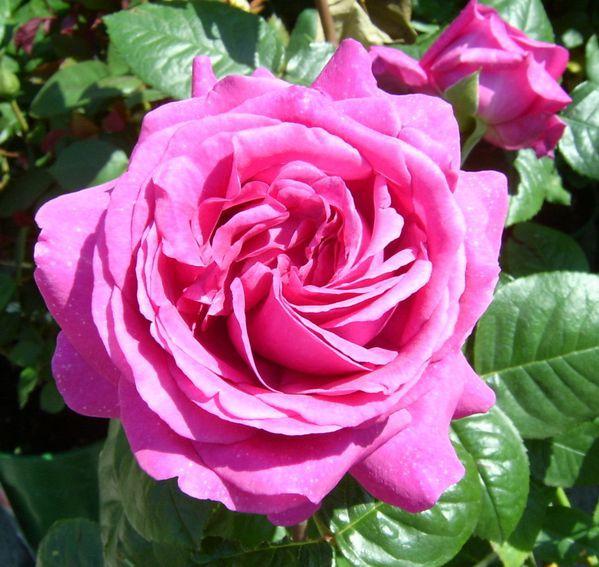 Découvrez le rosier Chartreuse de Parme