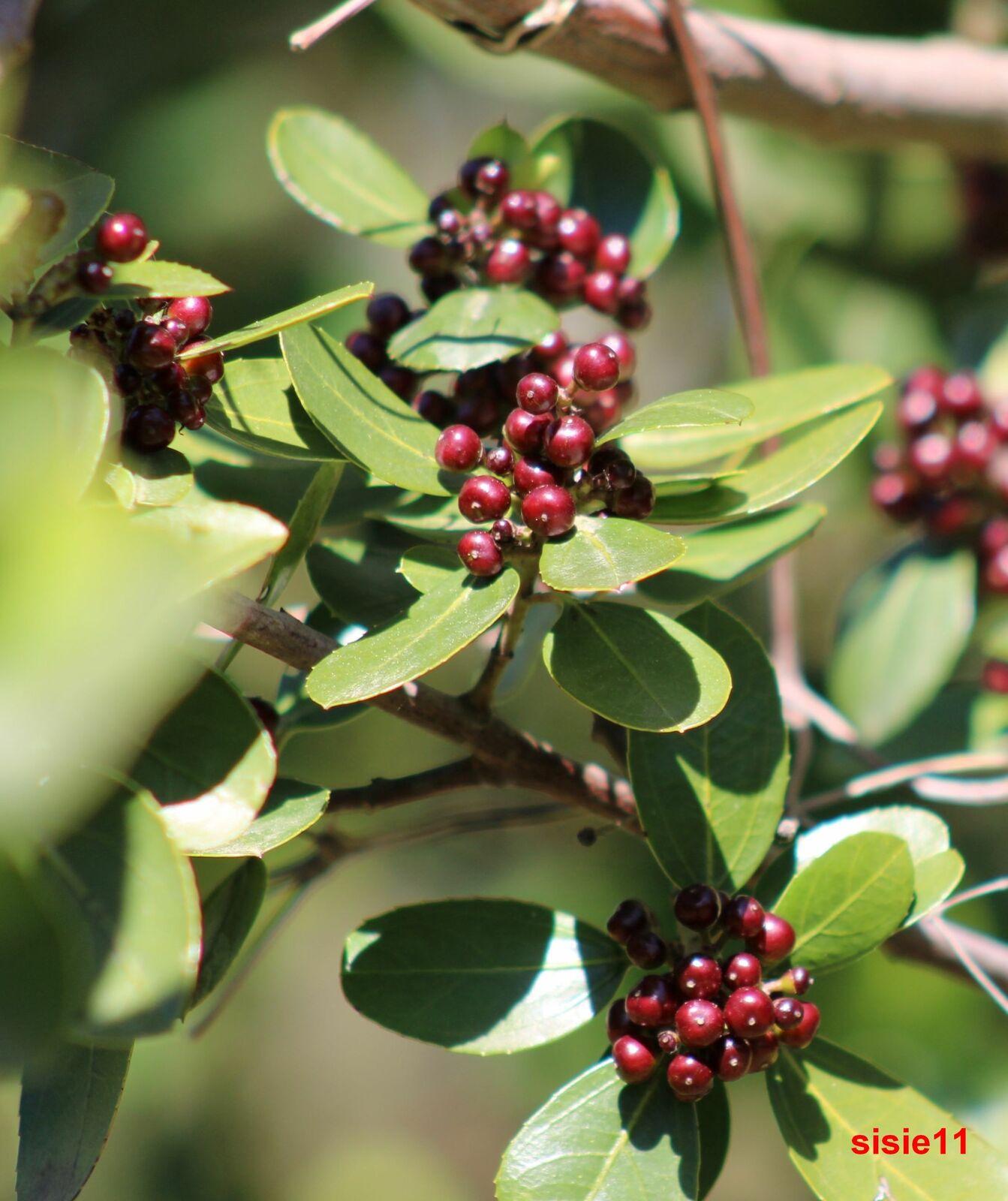OU bourgue épine, les fruits qui suivent la floraison à l'automne sont très décoratifs en plus de nourrir les oiseaux : les petites drupes d'un demi-centimètre environ, de couleur rouge virant au noir au fil de la saison, perdurent tout l'hiver.