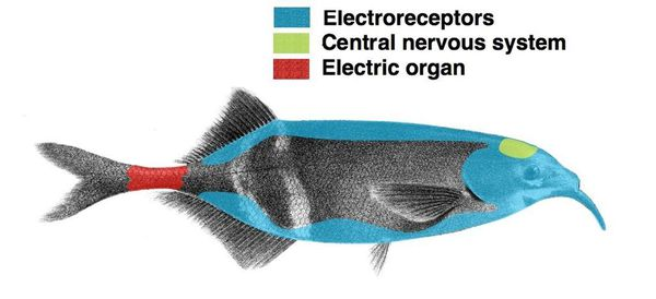 The elephantnose fish is a weakly electric fish which generates an electric field with its electric organ and then processes the returns from its electroreceptors to locate nearby objects.