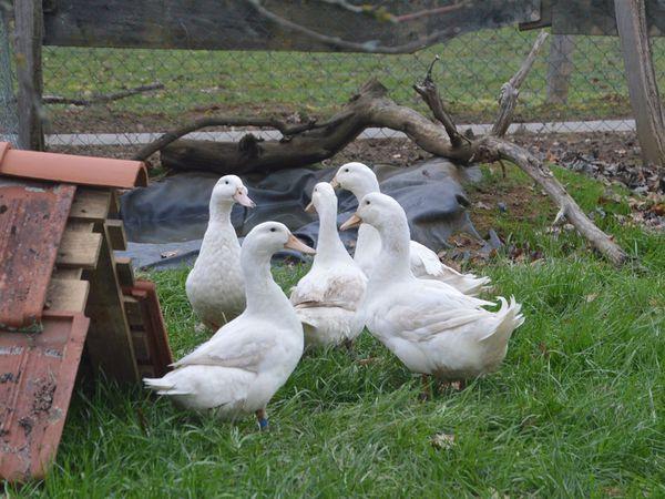 Photos et élevage Aurore GIRON.