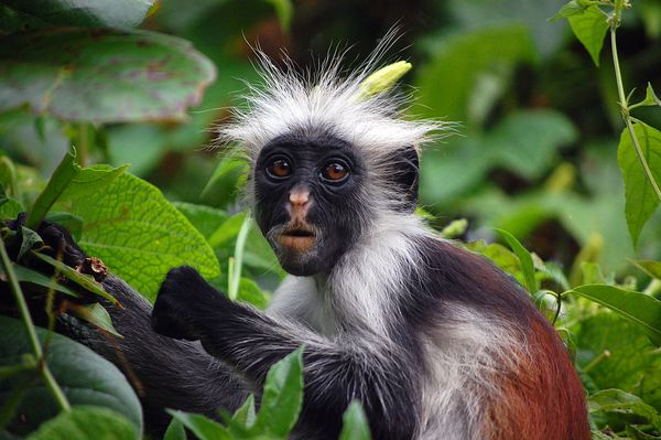 The Red Colobus of Zanzibar (Procolobus kirkii), taken at Jozani Forest, Zanzibar, Tanzania. Seen here in the middle of his meal, enjoying a young leaf.