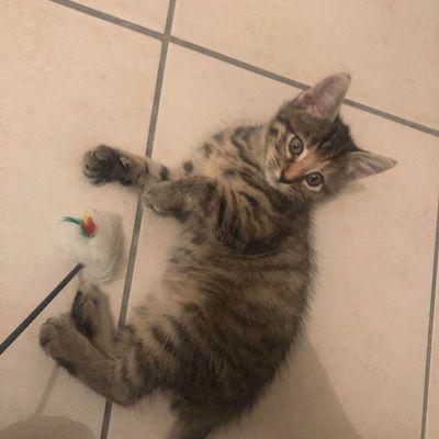 R'line, chaton femelle tigrée de 2/3 mois, à l'adoption -> adoptée