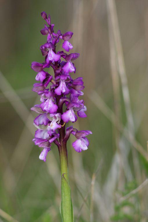 Album - orchidees-de-Touraine
