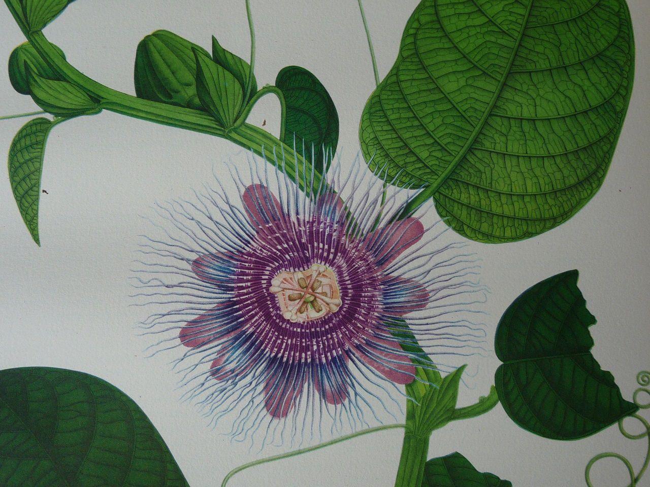 Chouchou ou Barbadine … Passiflora quadrangularis