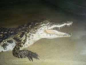 Si les crocodiles ouvrent souvent la gueule, c'est pour évacuer leur chaleur et ainsi réguler leur température corporelle.