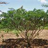 "Natura Plantes®: ""Mimosa Tenuiflora"""