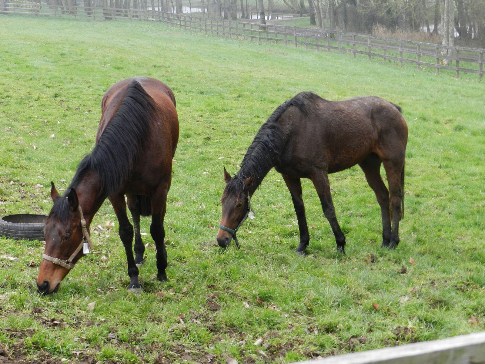 Jeunes chevaux au pré. Techniques d'élevage (R) Tous droits réservés
