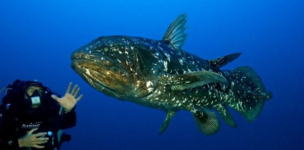 The Comoros coelacanth (Latimeria chalumnae) in their natural environment at 130 meters deep in the Bay of Sodwana Bay (South Africa). / Laurent Ballesta / www.andromede-ocean.com / www.blancpain-ocean-commitment.com