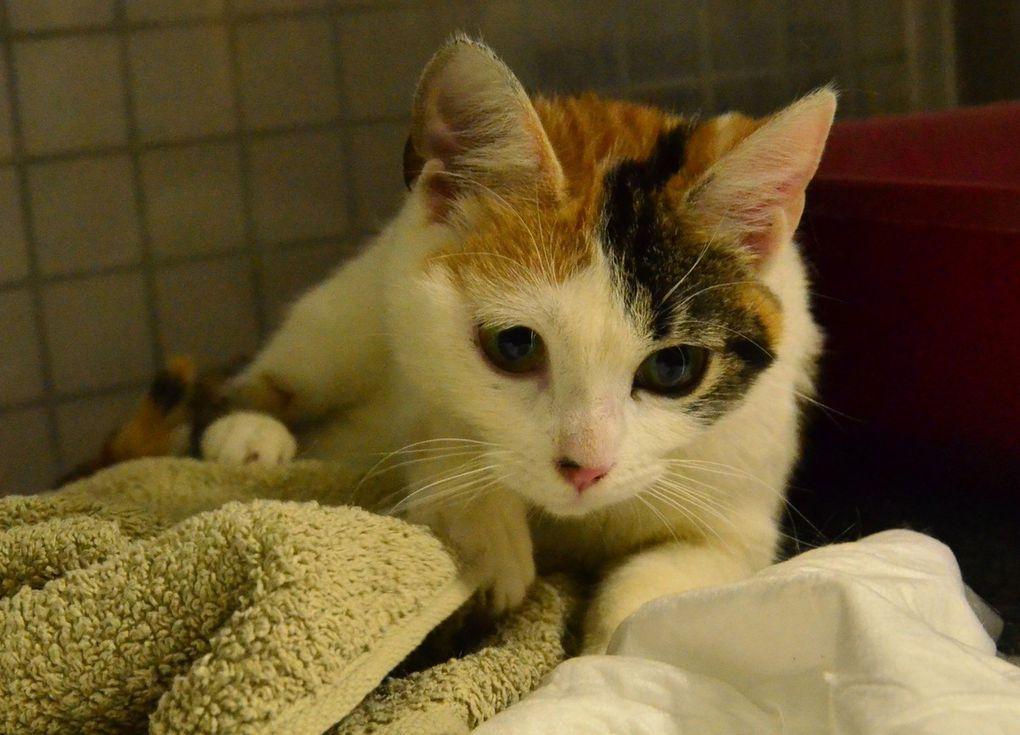 Elle est adoptée !!! : MANDOLINE, revissante petite tricolore de 6 mois