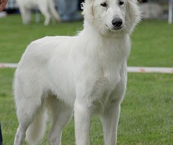 elite one berger blanc suisse