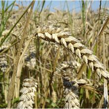 La recherche génétique montre le potentiel de rendement inexploité du blé