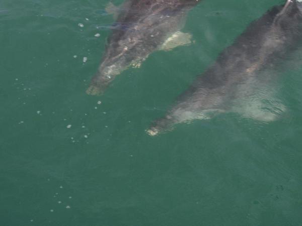 excursion dans la baie des îles, (144 îles)le matin voir les dauphins, et aperçu des sites Maoris.