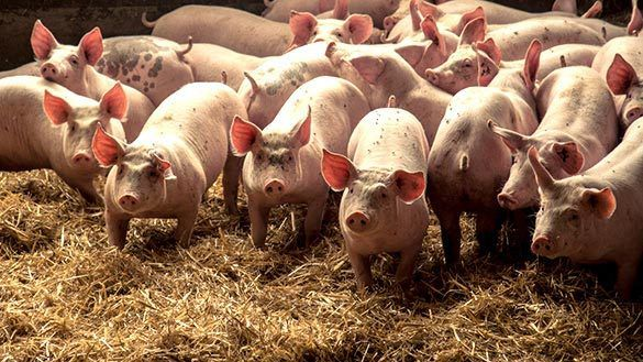Miracle: la multiplication des cochons