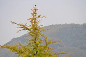 Un corbeau, sur un arbre perché...