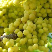 Fruit de saison (18-01) - Le mayom - Noy et Gilbert en Thaïlande