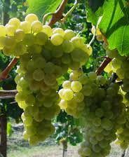 Champagne  Producers  Cramant  Region  – Marne  Dept  France