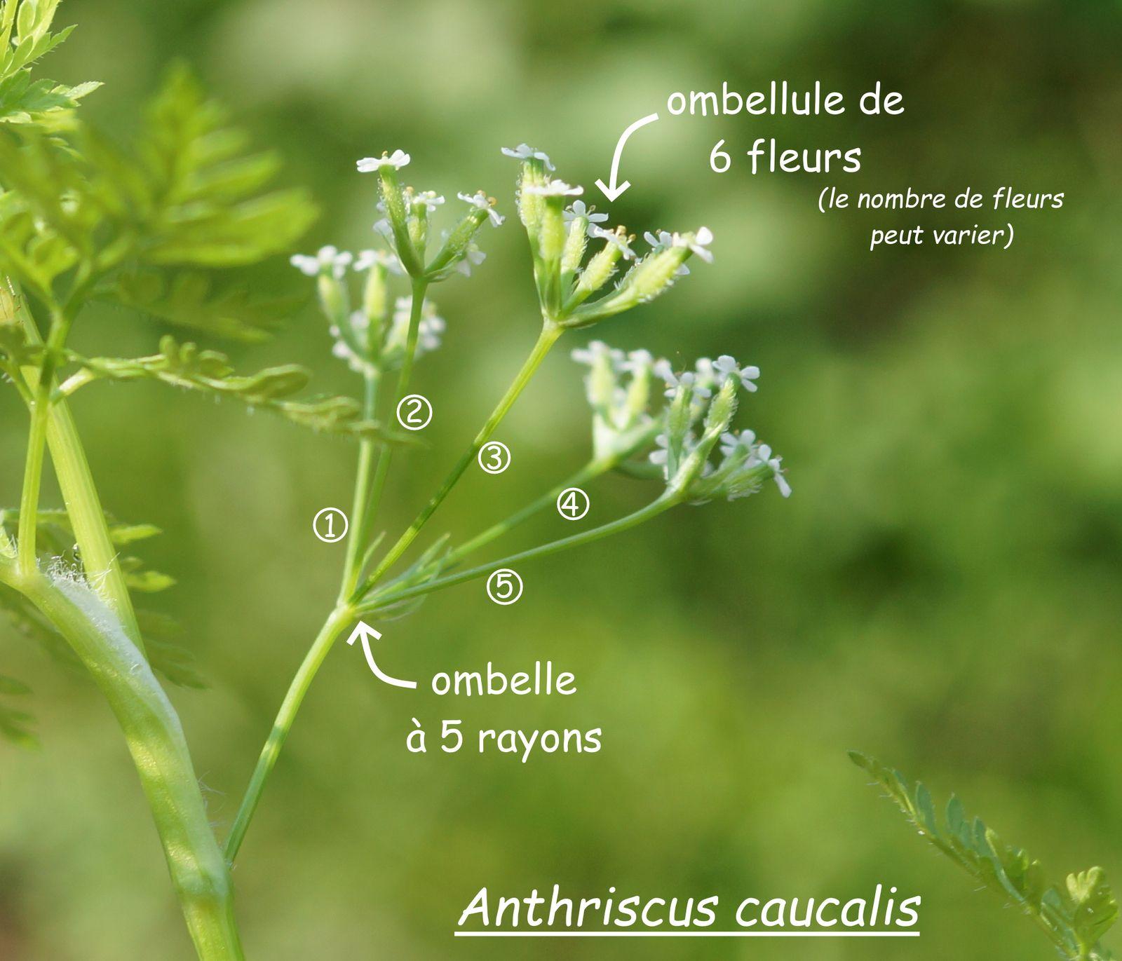 Ombelles d'Anthriscus caucalis et d'Anthriscus sylvestris