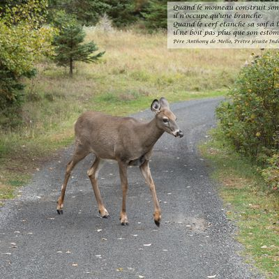 No. 169 : Parc national du Bic - Cerf de Virginie (27octobre 2020)