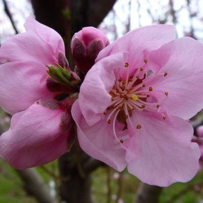 Quelques fleurs de pêchers pour illuminer le mois de mai en rose (#lundisoleil 19)