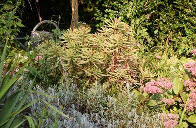 Belle par tous les temps : l'Euphorbia x martinii 'ascot rainbow'