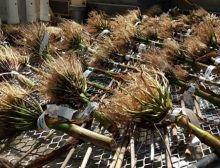 Un nouveau trait découvert aide les plantes à s'enraciner plus profondément dans un sol sec