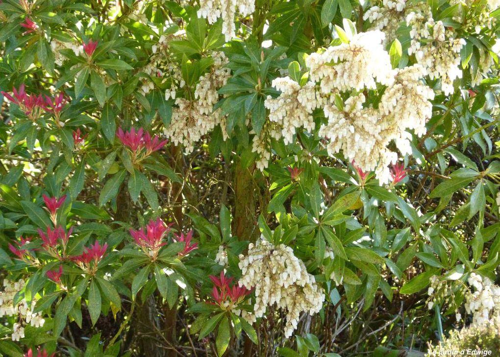 Andromède du Japon - Pieris japonica ' Forest Flame '