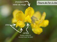 Fleurs de fabaceae