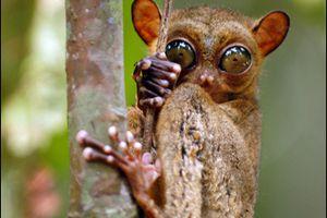Le tarsier (des animaux insolites)