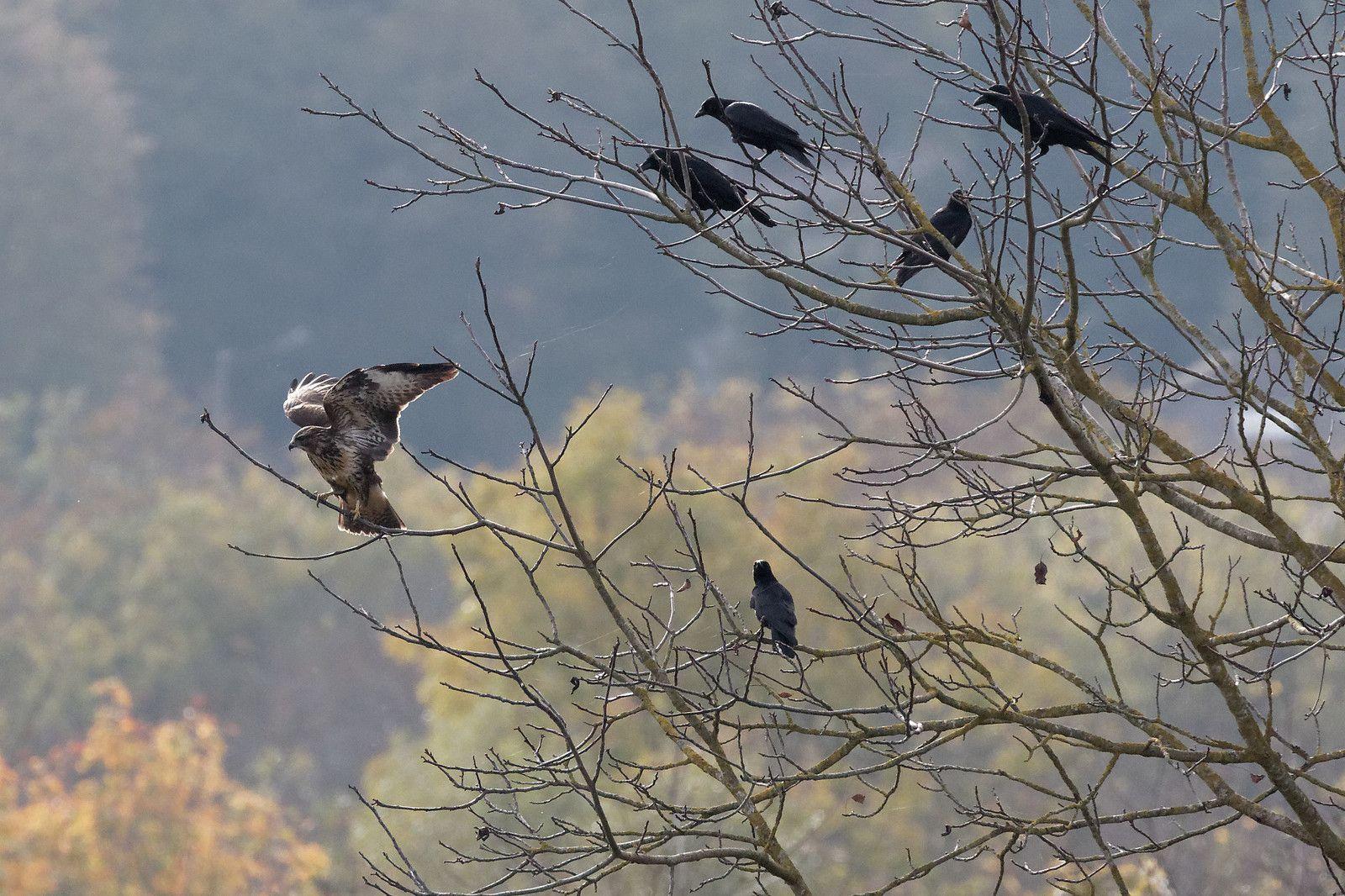 535 - Monde aviaire : partage et stratégie : 07/11/2020