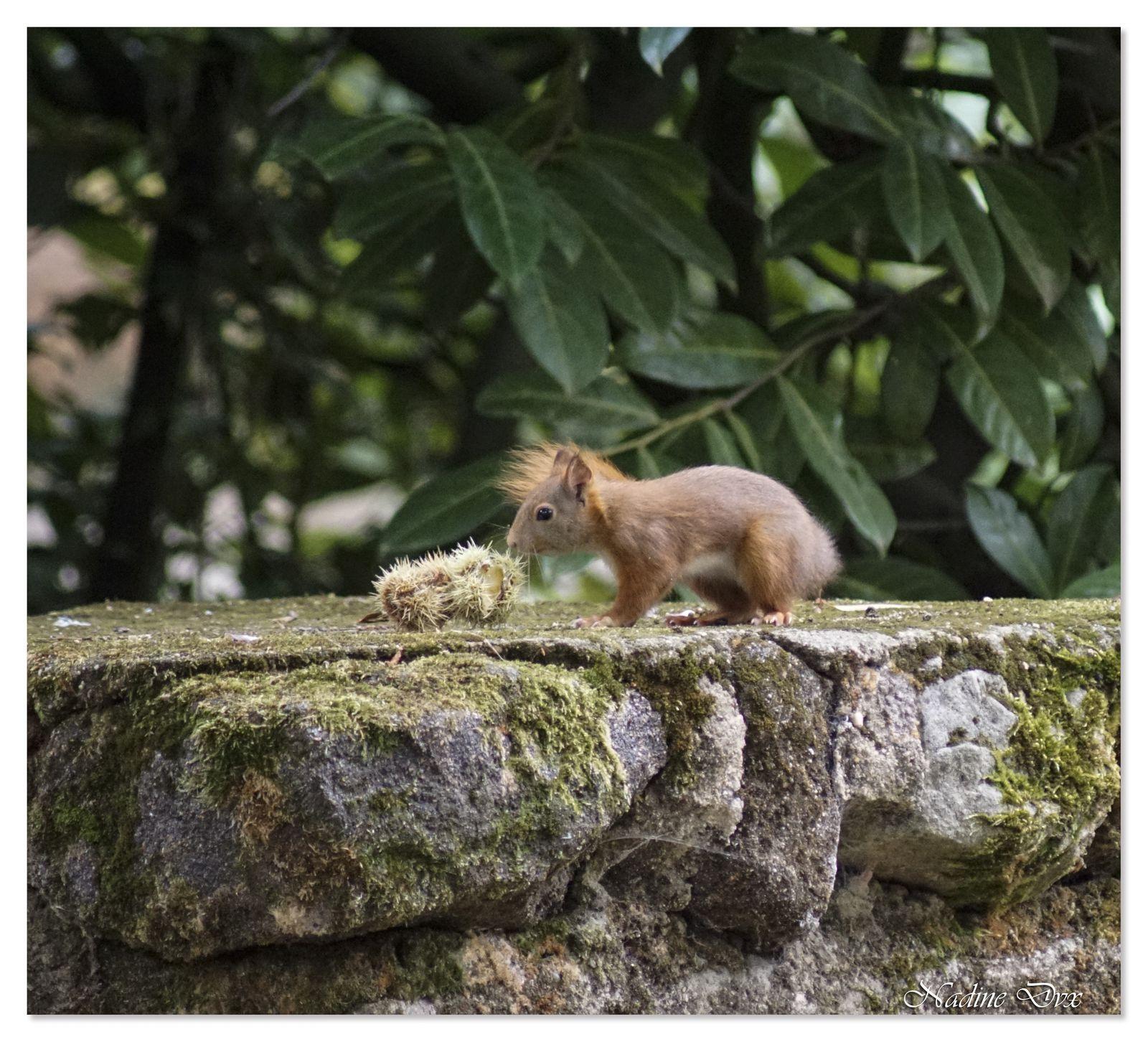 Écureuil d'Eurasie ou Écureuil roux - Nom scientifique Sciurus vulgaris - Sarthe