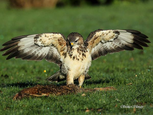 La buse variable détecte ses proies depuis un perchoir élevé ou en volant au-dessus de son territoire de chasse… Photos : Claudie Stenger (Cliquez pour agrandir)