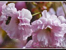 Fleurs du cerisier du Japon ...