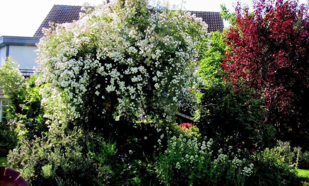 J'adore l'ampleur de Rambling rector, le rosier liane le plus exubérant