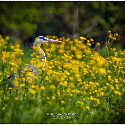 Dans le Marais poitevin - Héron cendré
