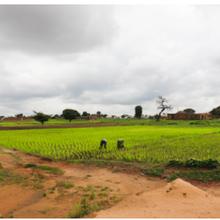 Le Nigeria avance dans la mise au point d'un riz GM efficace en azote