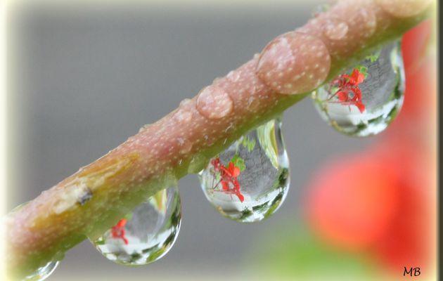 Fleurs de géranium dans gouttes d'eau